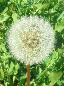 astounding packard stone school dandelion sunday 06 22 2014